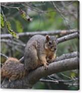 Fox Squirrel On A Branch  Canvas Print