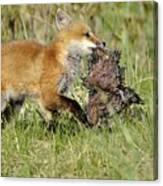 Fox With Dinner Canvas Print