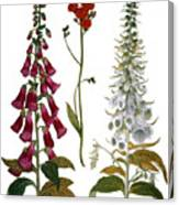 Foxglove And Hawkweed Canvas Print