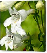 Foxglove Beardtongue - Penstemon Digitalis Canvas Print