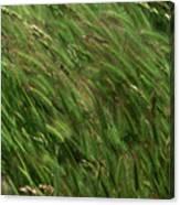 Foxtail Barley - Salisbury Potrero Canvas Print