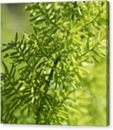 Foxtail Fern In Spring Canvas Print