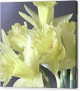 Fragile Daffodils Canvas Print