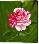 Fragrant Pink Canvas Print
