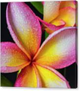 Frangipani After The Rain Canvas Print