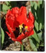 Frayed Tulip Canvas Print