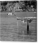 Freedom Is A Seagull Name Black And White Canvas Print