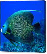 French Angelfish Canvas Print