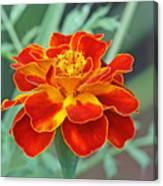 French Marigold Canvas Print