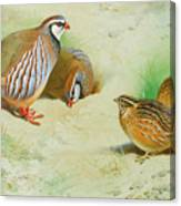 French Partridge By Thorburn Canvas Print