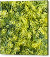 Fresh Dill Weed  Canvas Print