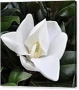 Fresh Magnolia Canvas Print