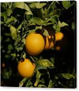 Fresh Oranges Canvas Print