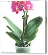 Fresh Pink Orchid In Pot Canvas Print