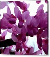 Fresh Redbud Blooms Canvas Print
