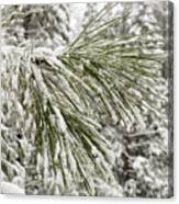 Fresh Snow Covers Needles On A Pine Canvas Print