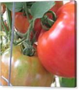Fresh Tomatoes Ahead Canvas Print