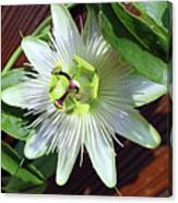 Fresh White Passion Flower  Canvas Print