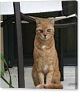 Friendly Cat In Key Largo Canvas Print