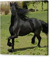 Friesian Horse In Galop Canvas Print
