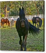 Friesian Horses - Pasture Canvas Print