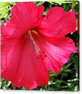 Frilly Red Hibiscus Canvas Print