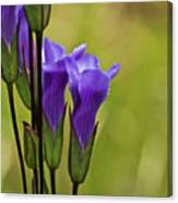Fringed Gentian 9 Canvas Print