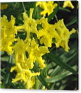 Fringed Puccoon Canvas Print