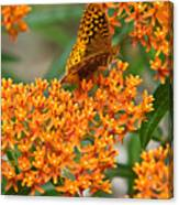 Frittalary Milkweed And Nectar Canvas Print