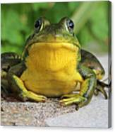 Frog On Flat Stone B  9871 Canvas Print