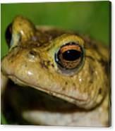 Frog Posing Canvas Print
