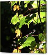 From Behind The Grapevine Canvas Print