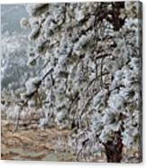 Frost-covered Pine Canvas Print