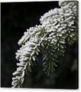 Frost On Pine Canvas Print