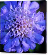 Frosted Blue Pincushion Flower Canvas Print