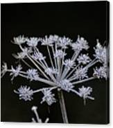 Frosted Hogweed Canvas Print
