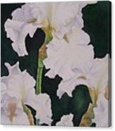 Frosted Pearl Iris Canvas Print