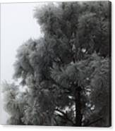 Frosted Pine Canvas Print