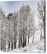 Frosty Aspen Trees Canvas Print
