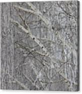 Frosty Birch Tree Canvas Print