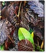 Frozen Oak Leaves, Glenveagh National Canvas Print
