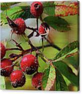 Fruit Of The Wild Rose Canvas Print