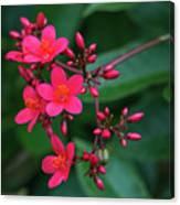 Jatrohpa Bush Blooms Canvas Print