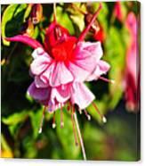 Fuchsia Enjoying The Sunshine Canvas Print
