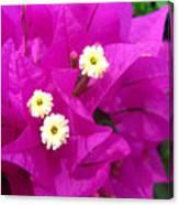 Fuchsia Flowers Canvas Print