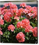 Full Bloom Geraniums  Canvas Print