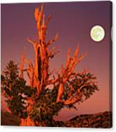 Full Moon Behind Ancient Bristlecone Pine White Mountains California Canvas Print