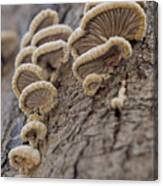 Fungui Growing On A Tree Trunk Canvas Print
