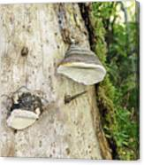 Fungus Grows On A Tree Trunk Canvas Print
