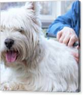 Funny View Of The Trimming Of West Highland White Terrier Dog Canvas Print